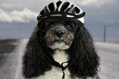 与自行车盔甲的狗 图库摄影