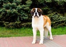 与自豪感的莫斯科看家狗 库存图片