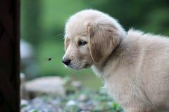 与臭虫的金毛猎犬小狗 图库摄影