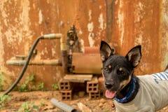 与舌头出口和尖的耳朵-宠物佩带的T恤杉的愉快的小的小狗-与好奇面孔-五颜六色的葡萄酒的微小的沮丧 免版税图库摄影