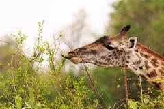 与舌头的长颈鹿扩大了哺养从小灌木 图库摄影