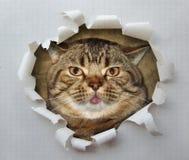 与舌头1的猫 免版税库存照片