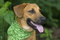 与舌头的狗愉快的微笑特写镜头 免版税库存照片