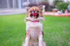 与舌头的狗 免版税库存照片