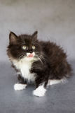 与舌头的逗人喜爱的黑白小猫 库存照片