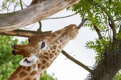 与舌头的长颈鹿 库存图片