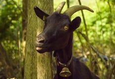 与舌头的黑山羊 免版税库存图片