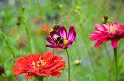 与舒适土蜂的美好的夏天百日菊属花百日菊属elegans 免版税库存图片