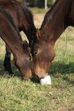 与舔日志的Kabardin马在pasturage 免版税库存图片