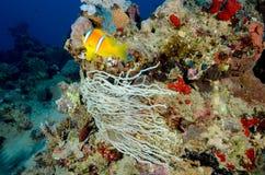 与色的珊瑚的Colin鱼 免版税库存图片