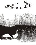 与芦苇和野生鹅的背景 免版税库存图片