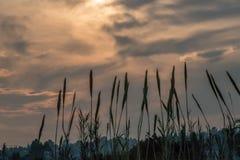 与芦苇的日落从河岸 图库摄影