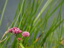 与芦苇的明亮的桃红色花 免版税库存照片