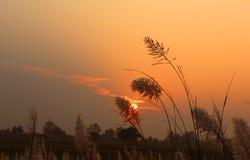 与芦苇的美好的日落 库存照片
