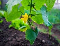 与花和卷须的小黄瓜在庭院里 免版税库存图片
