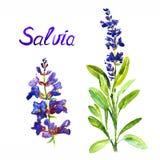 与花和叶子,分开的花的Salvia词根,隔绝在白色背景手画水彩例证 免版税库存照片