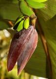 与花和芽的生长香蕉在庭院里 免版税库存图片