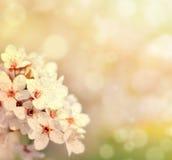 与花和bokeh的美丽的春天樱桃树 免版税库存图片