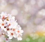 与花和bokeh的美丽的春天樱桃树 库存照片