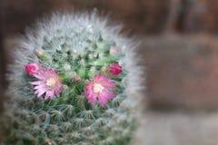 与花开花的仙人掌 免版税库存照片