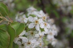 与花开花的洋梨树 库存照片