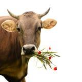 与花束的母牛 库存照片