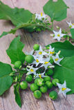 与花束的茄属torvum 库存图片