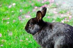与花的一只黑兔子在草坪 库存图片