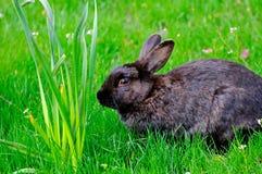 与花的一只黑兔子在草坪 库存照片