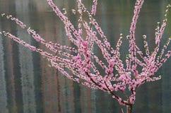 与花的一棵桃树 库存图片