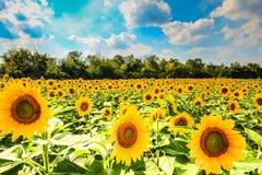 与花的向日葵领域在绽放 免版税库存照片