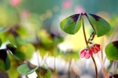 与花的四片叶子三叶草 免版税库存图片