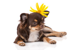 与花的奇瓦瓦狗狗 库存照片