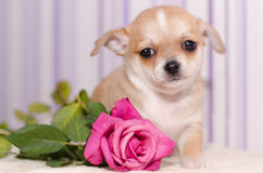 与花的小狗 免版税库存图片