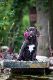 与花的幼小拉布拉多猎犬小狗 库存图片