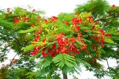 与花的槭叶瓶木 免版税库存照片