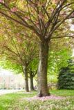 与花的樱花树在地面上落 免版税库存照片