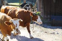 与花的母牛在头 免版税图库摄影