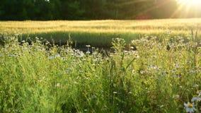 与花的片段领域在太阳光芒 股票录像