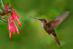与花的美丽的鸟 蜂鸟布朗印加人, Coeligena wilsoni,飞行在美丽的桃红色花旁边,在backgro的桃红色绽放 免版税库存照片