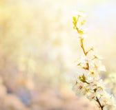 与花的美好的李子bracnh反对blured backgroiund 免版税图库摄影