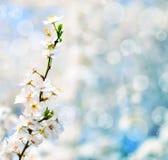 与花的美好的李子bracnh反对blured backgroiund 免版税库存照片