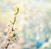 与花的美好的李子bracnh反对blured backgroiund 免版税库存图片