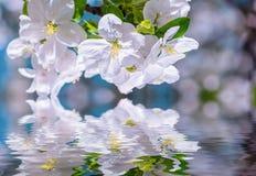 与花的苹果树分支在水 库存图片