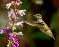 与花的蜂鸟飞行 免版税库存照片