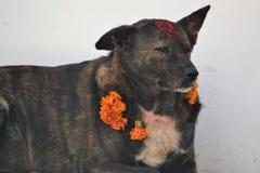与花的街道在狗节日的狗和Tika在加德满都 免版税图库摄影