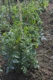 与花的西红柿 库存照片