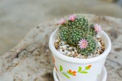 与花的逗人喜爱的小仙人掌在罐 免版税库存图片