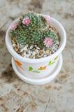 与花的逗人喜爱的小仙人掌在罐 图库摄影
