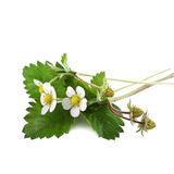 与花的野草莓 库存图片